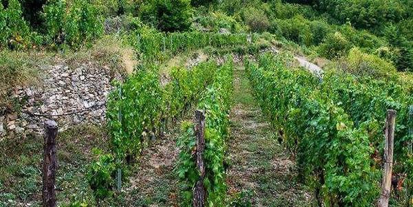 le vigne di Cascina Nirasca