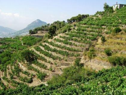 le vigne di Cantine Calleri