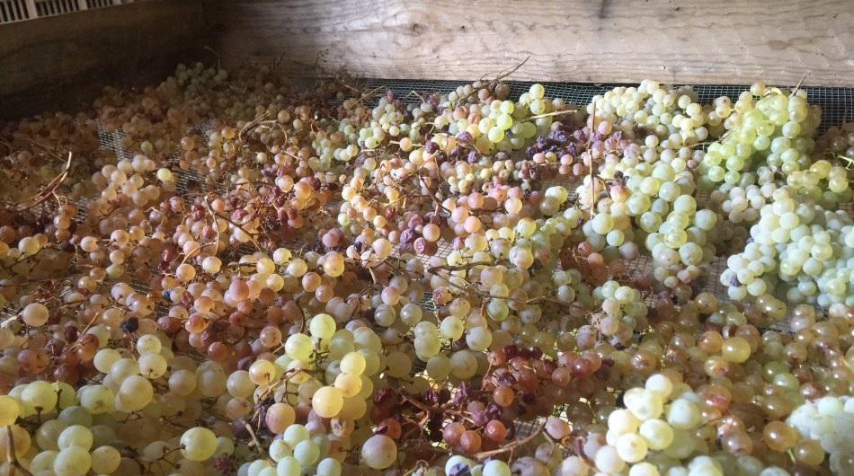 l'uva da Sciacchetrà pronta per la sgranatura