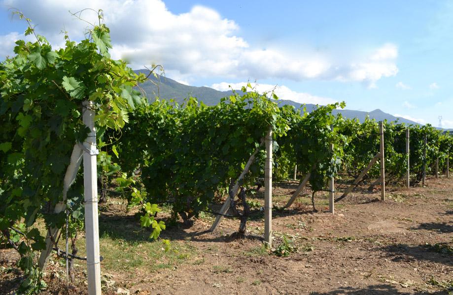 Le vigne di Cascina Feipu dei Massaretti