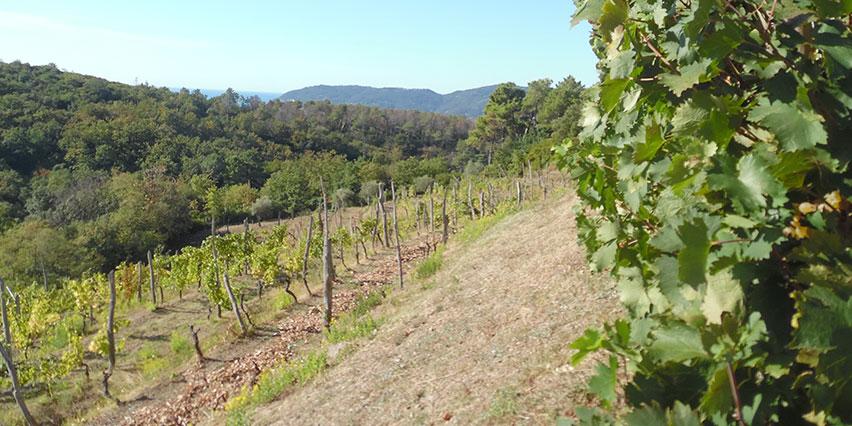 Le vigne di Ottaviano Lambruschi