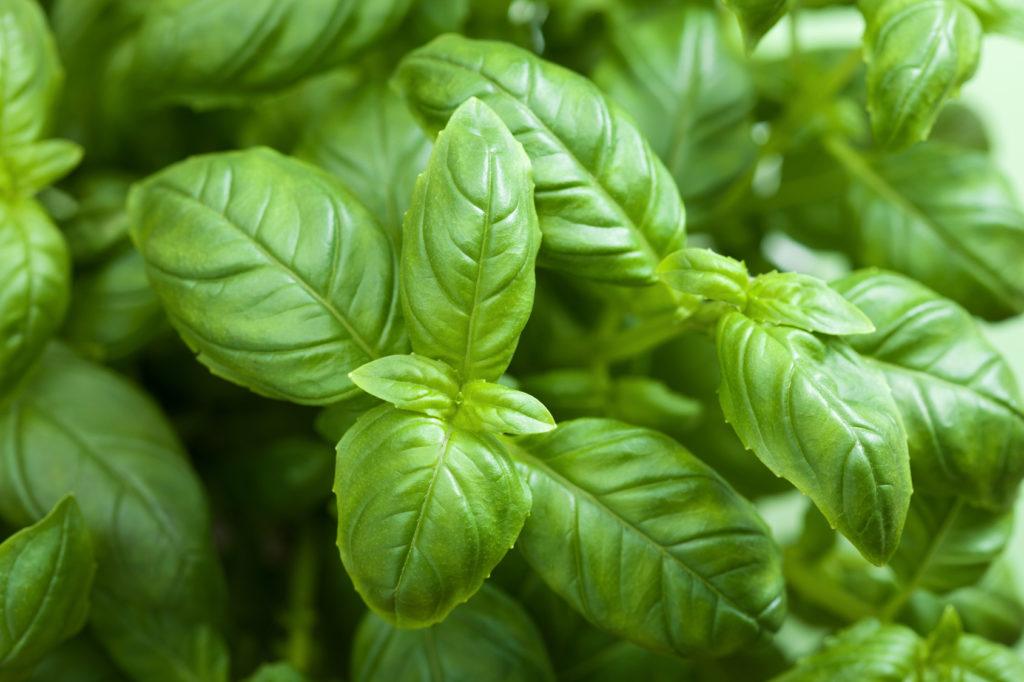 Dettaglio di una pianta di basilico ligure