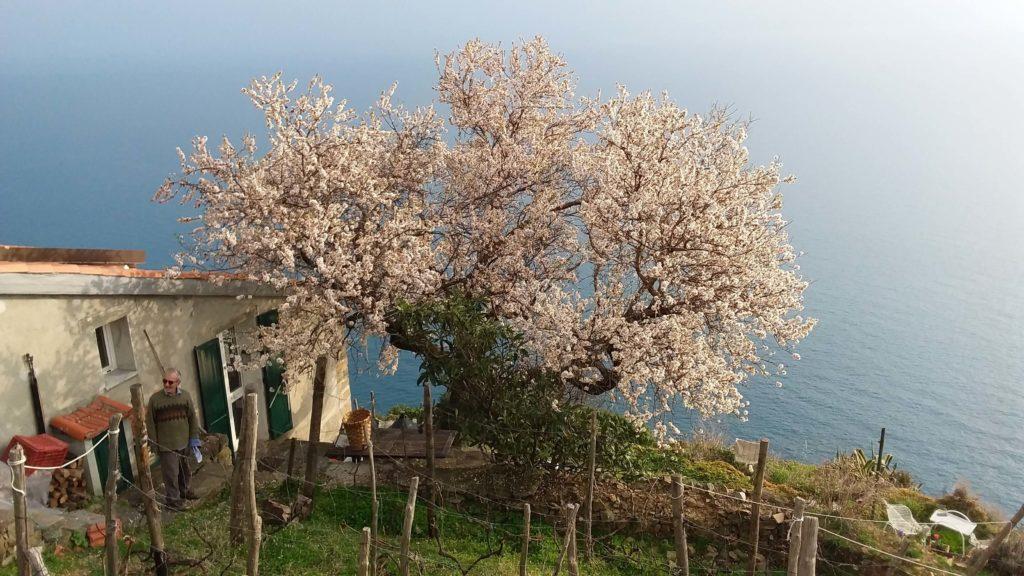 La casa di Tramonti di Gianni Paxia con il mandorlo in fiore