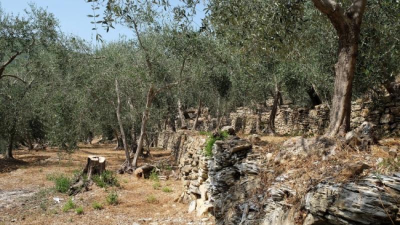 Un oliveto con muretti a secco tipico di Liguria